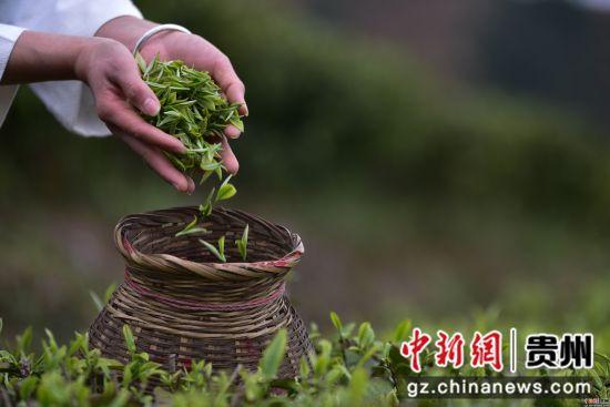 3月17日,在贵州省黔东南苗族侗族自治州丹寨县龙泉镇羊甲茶园,采茶工人在装刚采摘的春茶。杨武魁 摄
