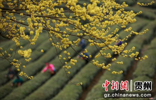 3月17日,在贵州省丹寨县龙泉镇马寨茶园,苗族村民在采摘春茶。黄晓海 摄