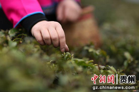 3月17日,在贵州省丹寨县龙泉镇马寨茶园,一名苗族村民在采摘春茶。 黄晓海 摄