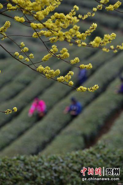 3月17日,在贵州省黔东南苗族侗族自治州丹寨县龙泉镇马寨茶园,采茶工人在采摘春茶。杨武魁 摄
