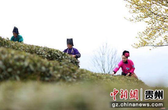3月17日,在贵州省丹寨县龙泉镇马寨茶园,苗族村民在采摘春茶。 黄晓海 摄