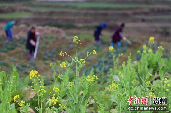 图为3月15日,贵州省丹寨县扬武镇干河村,农民在西兰花菜地里松土。 黄晓海 摄