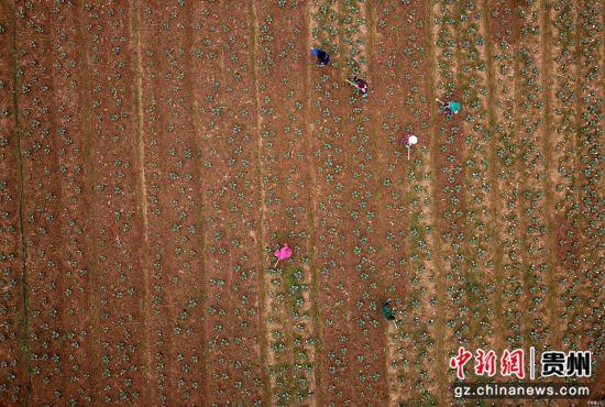 图为3月15日,贵州省丹寨县扬武镇干河村农民在西兰花菜地里松土。 黄晓海 摄