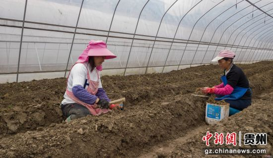 图为3月16日,贵州务川分水镇过江社区村民在忙着移栽夏季草莓苗。 田东 摄
