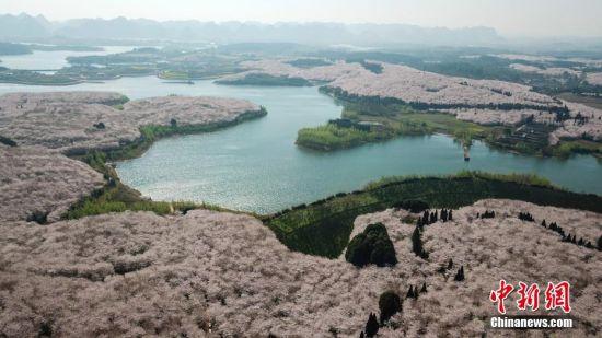 3月20日,航拍贵安新区万亩樱花园和茶叶基地。近日,位于贵州省贵安新区万亩樱花园内的樱花绽放,从空中俯瞰,花海如云似雪,蔚为壮观。中新社记者 瞿宏伦 摄