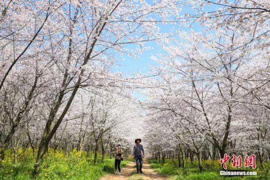 3月20日,游客在樱花园内游览。近日,位于贵州省贵安新区万亩樱花园内的樱花绽放,花海如云似雪,吸引众多市民和游客前去游览、拍照。中新社记者 瞿宏伦 摄
