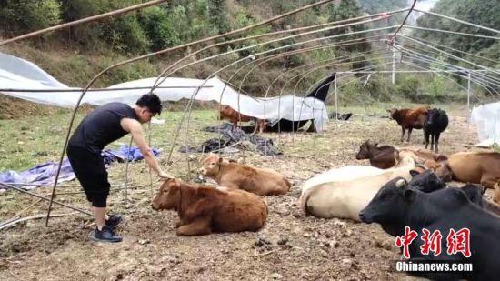 贵州榕江小伙赖军大学毕业后选择了回乡饲养黄牛发展产业。由于黄牛多在山林里放养,牛越来越多,管理压力越来越大,赖军突发奇想给牛装上GPS定位系统,通过手机查看牛的方位和行走路线。牛喜欢三五成群地在一起,赖军给几个领头牛的身上安装定位器,牛群的情况通过定位系统一目了然。自从安装定位系统之后,赖军的130多头牛从没走丢过。文/蒲文思 图/杨懿