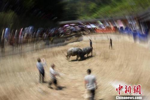 4月7日,�V西柳州市三江侗族自治�h仙人山景�^�e�k斗牛��霸�。�D�槿��在�^看�深^水牛打斗。��普康 �z