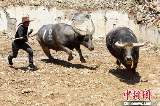 一名牛主人在控制获胜的水牛。 龚普康 摄