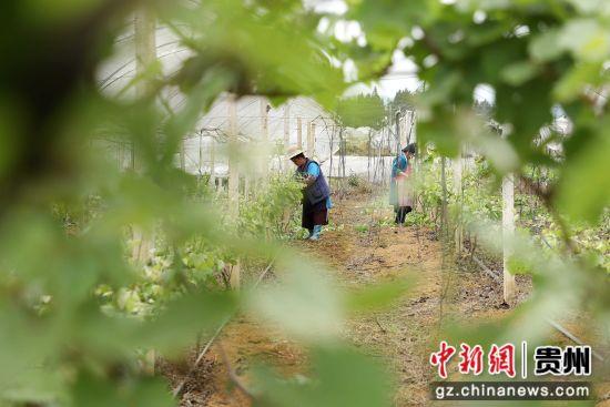 图为贵州丹寨葡萄果农正在给葡萄苗剔枝。 黄晓海 摄