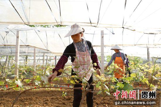 图为果农正在给葡萄苗剔枝。 黄晓海 摄