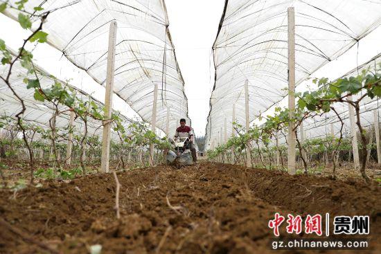 图为果农正在犁地松土。 黄晓海 摄