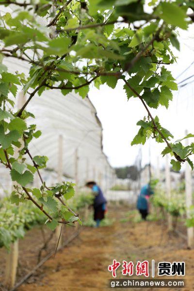 图为葡萄果农正在给葡萄苗剔枝。 黄晓海 摄