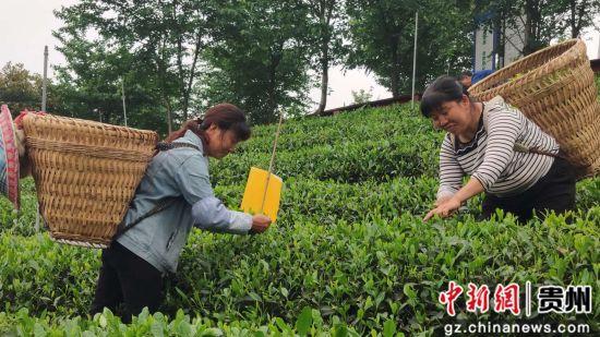 """贵州余庆:念好""""茶旅经"""" 做好"""