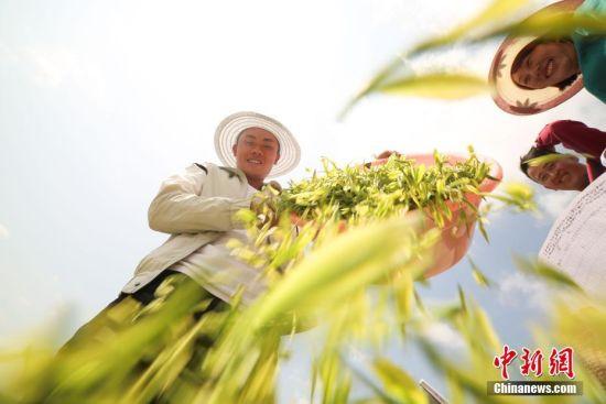 """4月18日,谷雨将至,地处乌蒙高原的贵州省毕节市大方县雨冲乡鹏银村仙女峰茶场里一派繁忙景象,村民们抢抓农时采摘""""雨前茶""""。图为村民在整理采摘的茶青。罗大富 摄"""