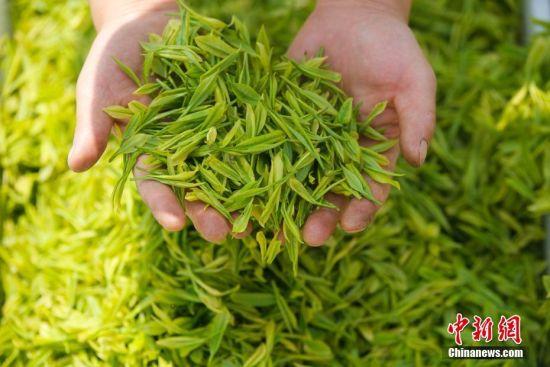 """4月18日,谷雨将至,地处乌蒙高原的贵州省毕节市大方县雨冲乡鹏银村仙女峰茶场里一派繁忙景象,村民们抢抓农时采摘""""雨前茶""""。图为村民在展示采摘的茶青。罗大富 摄"""