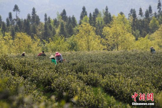 """4月18日,谷雨将至,地处乌蒙高原的贵州省毕节市大方县雨冲乡鹏银村仙女峰茶场里一派繁忙景象,村民们抢抓农时采摘""""雨前茶""""。图为村民在采摘雨前茶。罗大富 摄"""