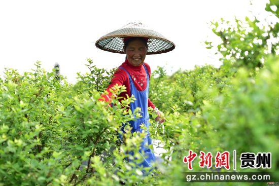 4月18日,在贵州省黔东南苗族侗族自治州丹寨县兴仁镇烧茶村蓝莓种植基地,村民在对蓝莓进行春季管护。 杨武魁 摄
