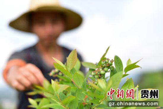 4月18日,在贵州省黔东南苗族侗族自治州丹寨县兴仁镇烧茶村蓝莓种植基地,技术人员在查看蓝莓挂果情况。杨武魁 摄