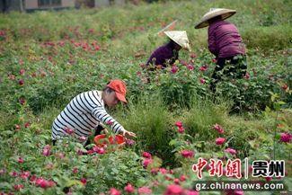 2019年4月24日,镇远县蕉溪镇郎洞村党员干部助农抢收鲜花 李安生 摄