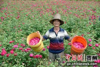 2019年4月24日,镇远县蕉溪镇郎洞村党员干部助农抢收鲜花(李安生 摄影) (6)