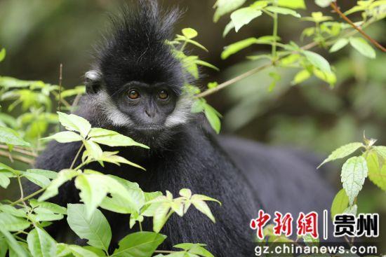 贵州沿河暮春猴趣 胡攀学 摄