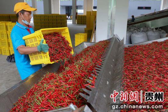 图为中国辣椒城工作人员在处理辣椒。 瞿宏伦 摄