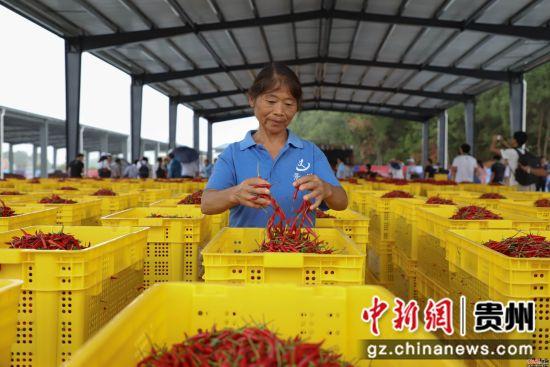 图为中国辣椒城工作人员在整理辣椒。瞿宏伦 摄
