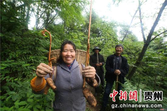 图为李启敏在展示仿野生的天麻。