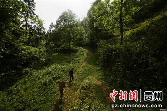 图为李启敏走在前往天麻种植点的路上。