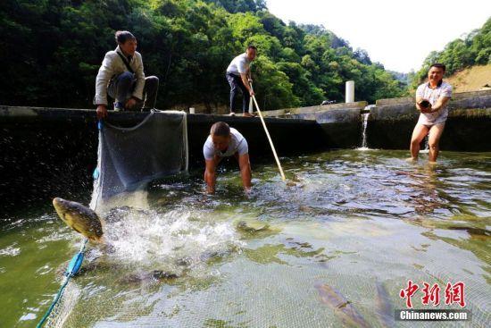 5月22日,在贵州省黔东南苗族侗族自治州榕江县两汪乡岑熬村原生态冷水养殖基地,合作社成员在鱼池捕鱼。李长华 摄
