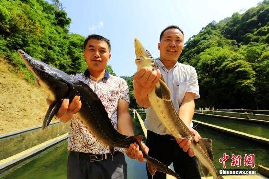 从鱼池捕捉出来的中华鲟。李长华 摄