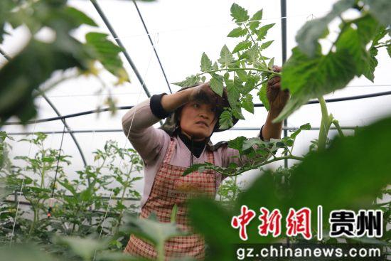 2019年5月28日,在贵州省毕节市黔西县文峰街道田坎社区,村民在大棚基地管护西红柿。 周训超 摄