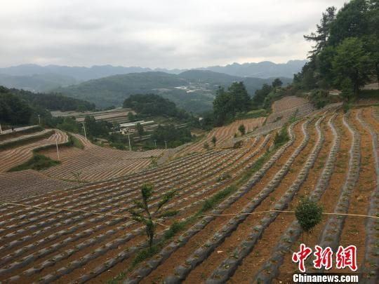 图为新合村发展的魔芋和烟草产业。 刘鹏 摄