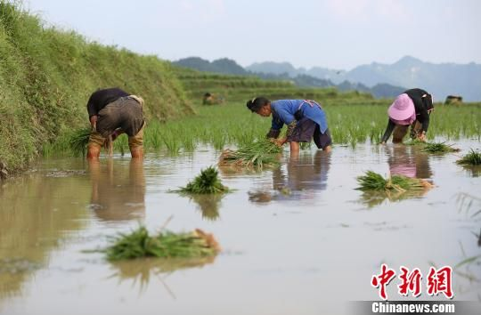 图为6月2日,农民在梯田里插秧。 黄晓海 摄