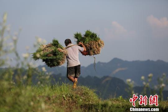 图为6月2日,一名农民挑着秧苗走在田埂上。 黄晓海 摄
