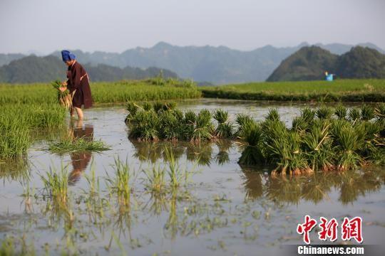 图为6月2日,一名农民在整理秧苗。 黄晓海 摄