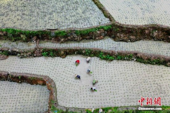 6月9日,仲夏时节,位于贵州省从江县刚边乡的宰别梯田雨水充沛,景色优美。图为农民在贵州省从江县刚边乡宰别梯田间劳作(无人机拍摄)。中新社发 罗京来 摄 图片来源:CNSPHOTO