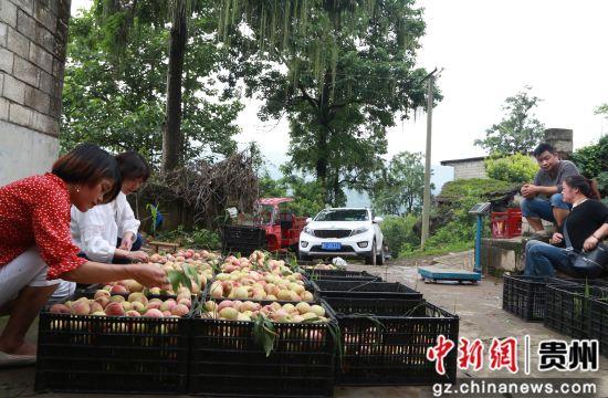 黔西县大关镇丘林村,商贩自行驾车来购买,正在挑选白花桃。