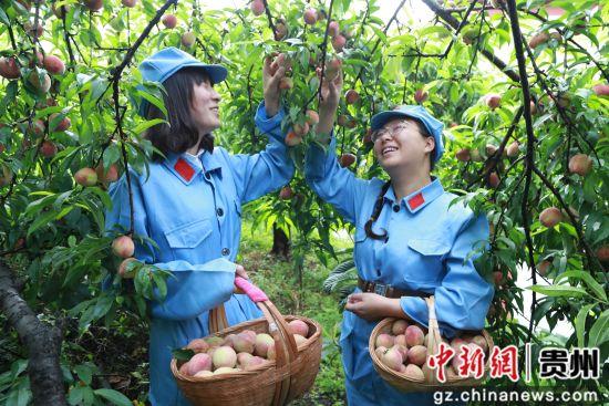 黔西县大关镇丘林村,游客们身穿红军服,高兴地采摘白花桃,体验当地红色文化。