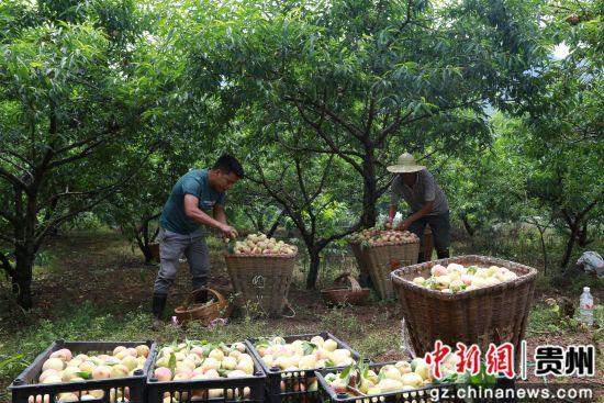黔西县大关镇丘林村村民采收本地白花桃。