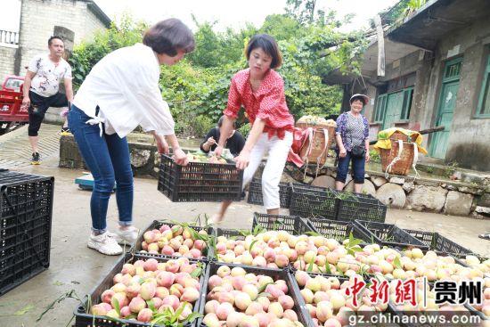 黔西县大关镇丘林村商贩在购买搬运白花桃。