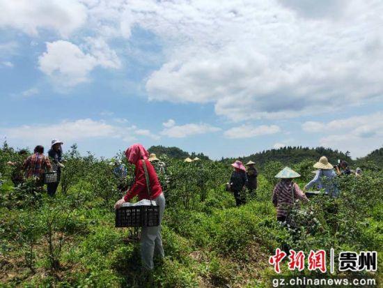 蓝莓基地里农户们正在采摘香菇。