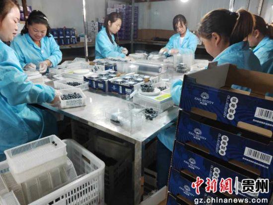 加工厂里,工人们正有序的包装蓝莓。