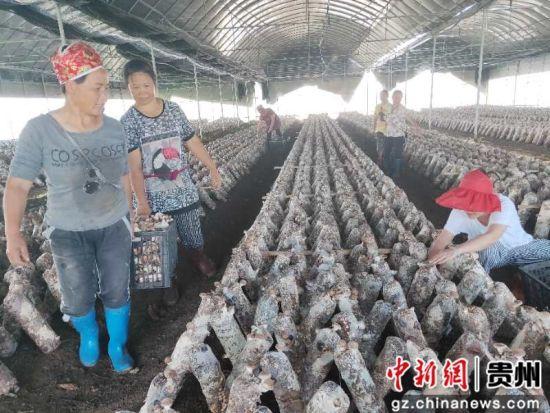 农户们正在采摘香菇。