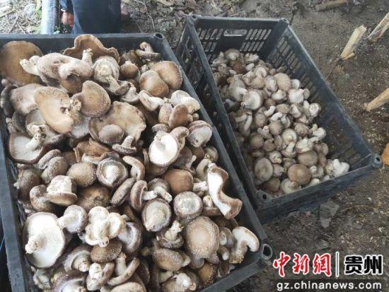 采摘好的香菇。