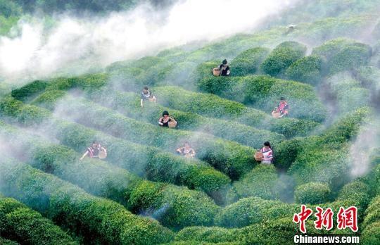 图为都匀毛尖茶园。黔南州委宣传部供图