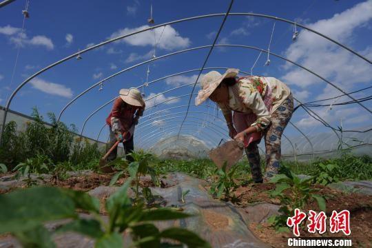 贵州威宁草海镇吕家河村,菜农在蔬菜基地除草。 贺俊怡 摄