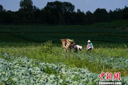 贵州威宁草海镇吕家河村,菜农在蔬菜基地采摘蔬菜供市场所需。 贺俊怡 摄