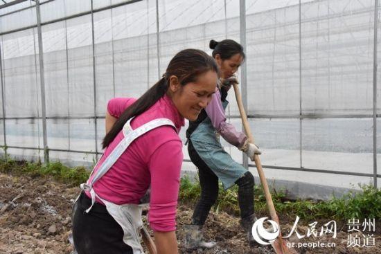 村民在菊花基地里务工。丁雪 摄